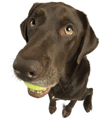 Dog sitting with tennis ball