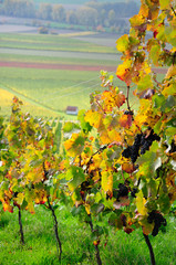 Autumn vineyard. Germany