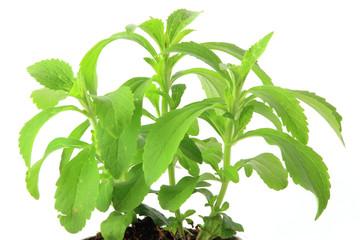 Suesskraut Stevia rebaudiana