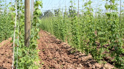 hop garden in vegetation, locked down