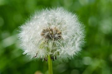Macro picture of dandelion clock (Taraxacum officinale)