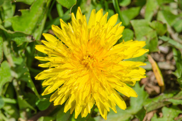 Macro picture of dandelion (Taraxacum officinale)
