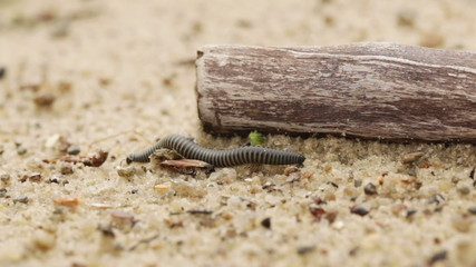 Millipedes crawling on sand
