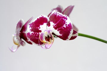 red orchid isolated