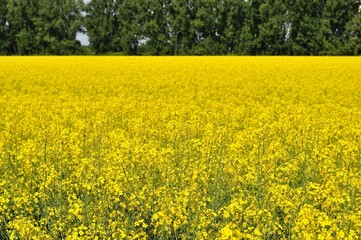 Yellow canola (Brassica napus L.) field with trees
