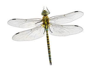 Dragonfly Aeshna affinis (male)