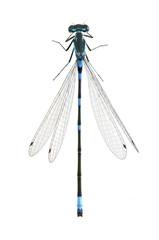 Dragonfly Coenagrion pulchellum (male)