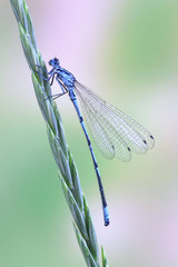 Dragonfly Coenagrion puella (male)