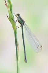 Dragonfly Erythromma najas (female)