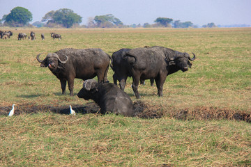 Cape buffalo in muddy creek, Zambia