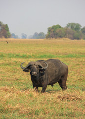 Cape buffalo staring into the great savannah, zambia