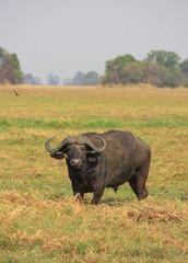 Cape buffalo staring into the great savannah, zambia