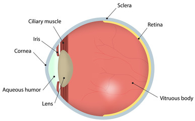 Eye Cross Section Labeled