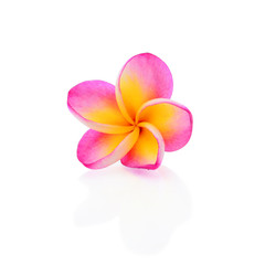 Blooming Yellow Plumeria (frangipani) on white background - with
