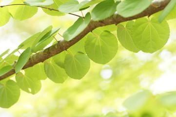 ハート型の桂の葉