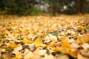 Autumn Ginkgo biloba