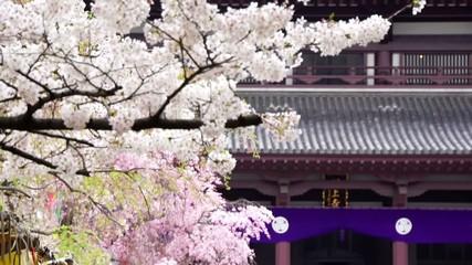 増上寺 満開の桜と花見客