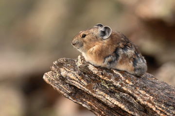 American Pika Resting On Alpine Rock