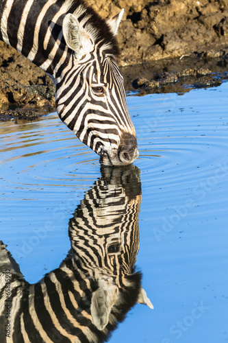 Canvas Zebra Zebra Water Mirror Reflections Wildlife