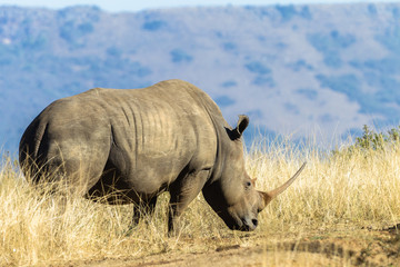 Rhino Wildlife Animal