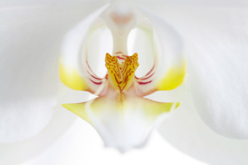White orchid, macro photo