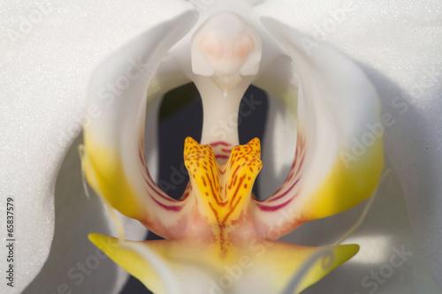 Panel Szklany White orchid, macro photo