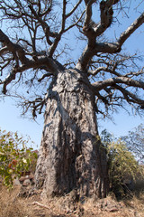 Close up of a Large old Baobab tree