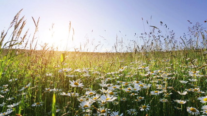 daisy flower meadow field against blue sky and sunset with wind