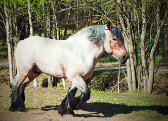 Running brabant stallion