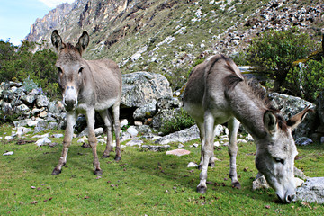 Donkey in Peruvian Mountains