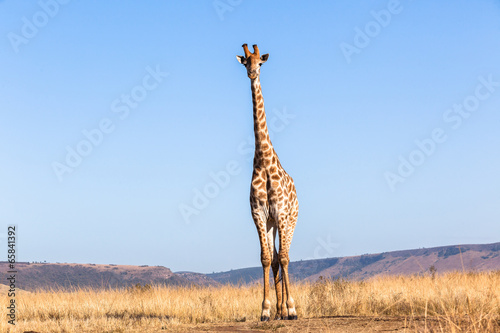 Fotobehang Giraffe Giraffe Blue Sky Portrait Wildlife