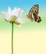 papillon sur lotus blanc