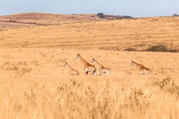 Giraffes Wildlife Animals Landscape