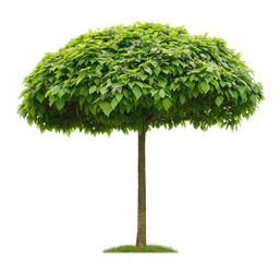 Freigestellter Trompetenbaum in Pilzform