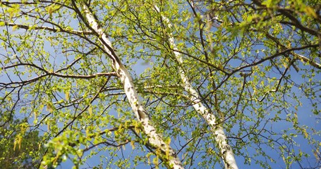 blooming birch. Ultra HD 4K video