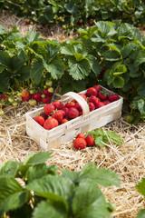 Reife Erdbeeren auf dem Feld