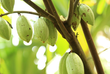 green cacao fruits grow on tree