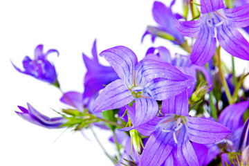 Bouquet of Campanula