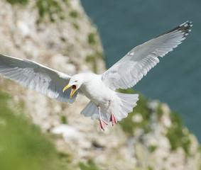 Herrgin gull seabird in flight