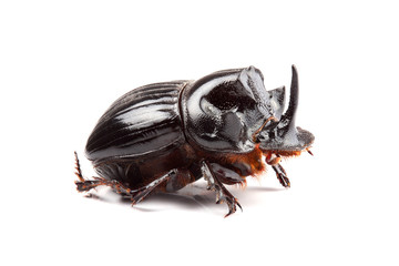 Male of beetle (Copris lunaris) isolated on white