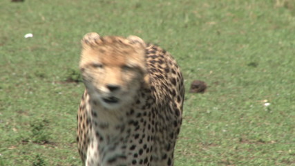 cheetah walking towards the camera