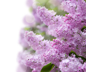 lilac purple flowers