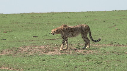 cheetah hunting, but fails