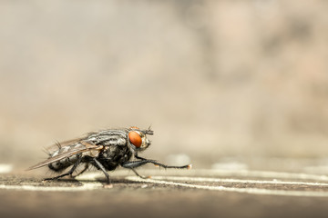 House Fly Side View Extreme Close Up