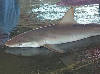 Grey Reef Shark for Sale