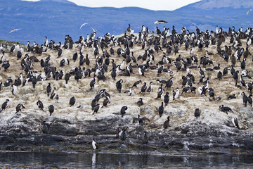 Cormorant Colony In Beagle Channel - Tierra del Fuego