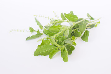 Basil Leaf Background