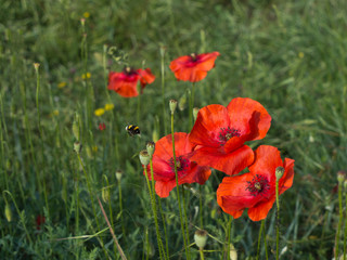 Poppies with bee, nature detail