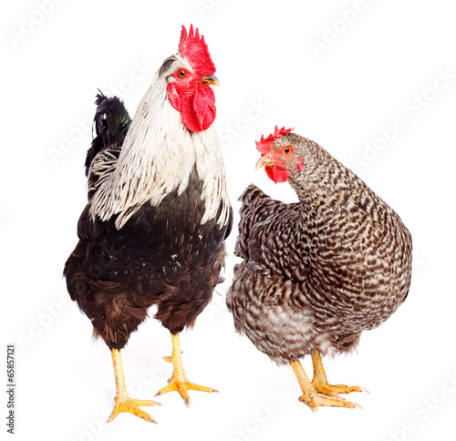 Staande foto Kip Rooster and chicken on white background