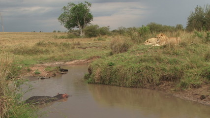 Hippo traped in a small pond by two lions